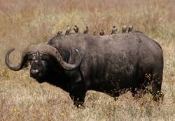 Murió atacado por un búfalo