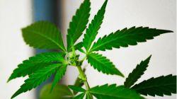 La reyerta les condujo a la plantación de marihuana
